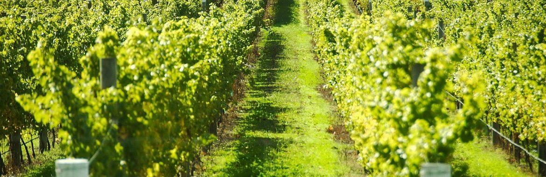 grape-vines-1170×382